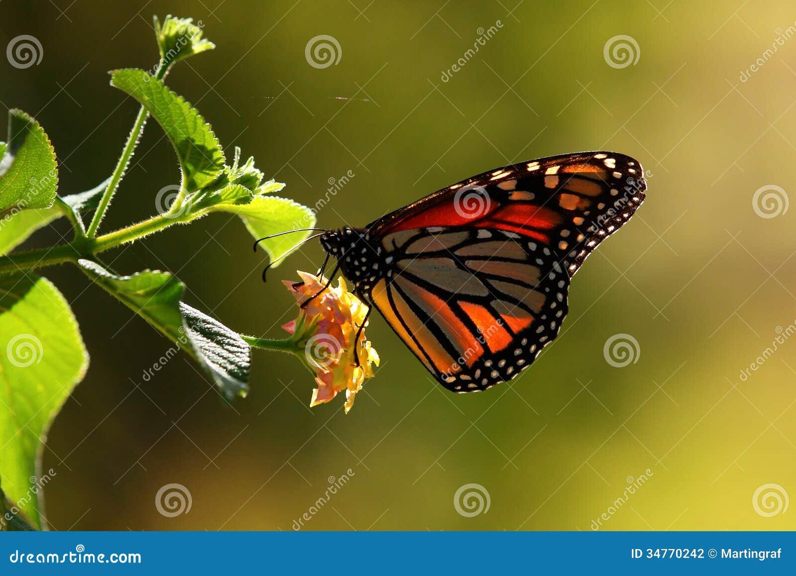 Monarchiczny motyl na kwiacie w świetle słonecznym