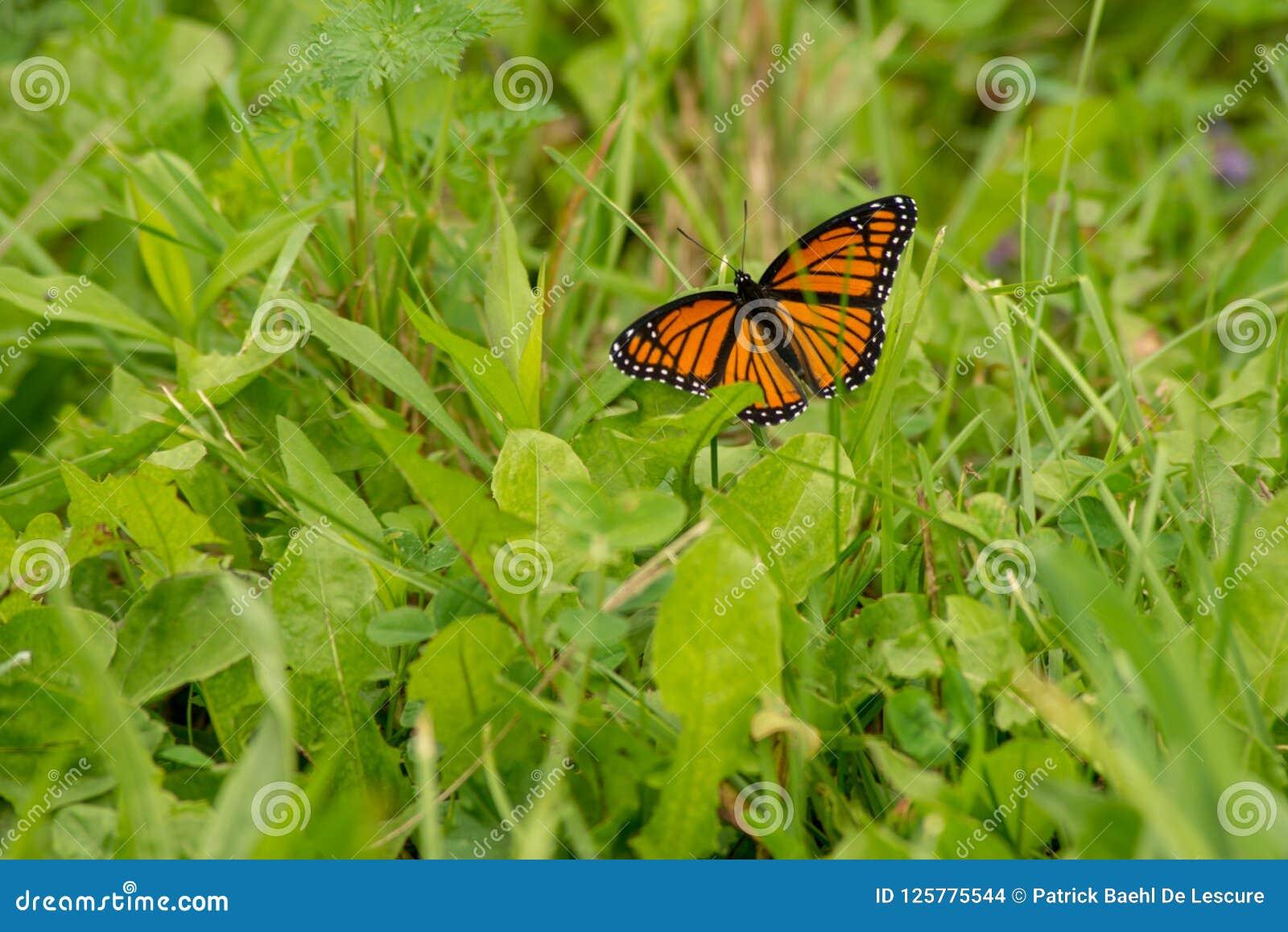 Monarchiczny motyl odpoczywa na ostrzu trawa w słońcu