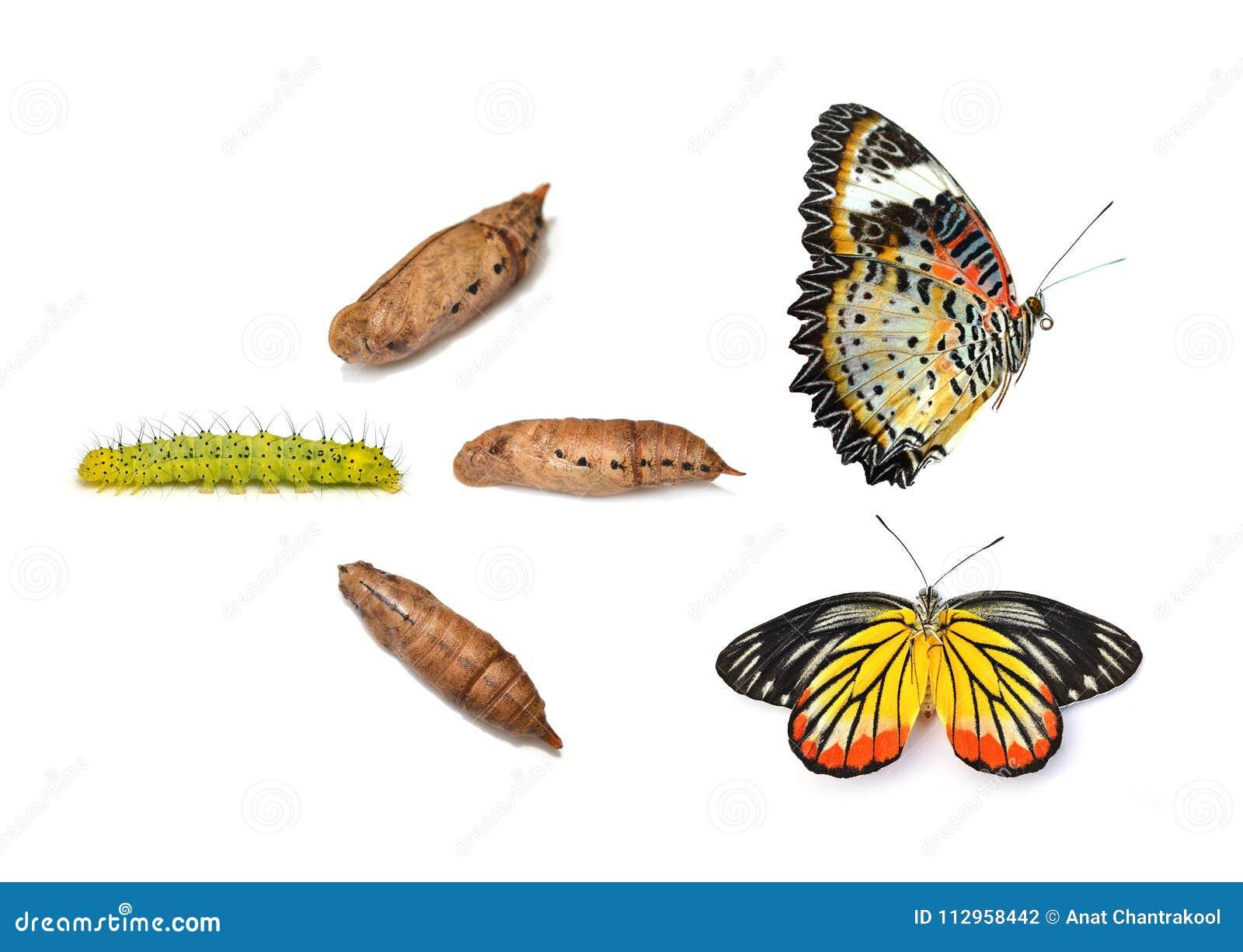 Monarchvlinder die uit pop, acht stadia te voorschijn komen isoleer