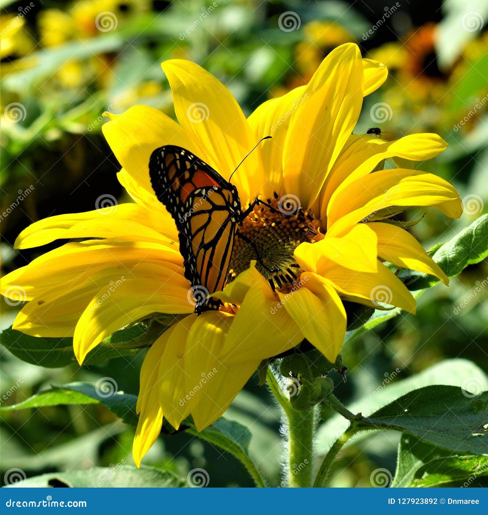 Monarchvlinder in Gele zonnebloem op Dalingsdag in Littleton, Massachusetts, de Provincie van Middlesex, Verenigde Staten De Dali