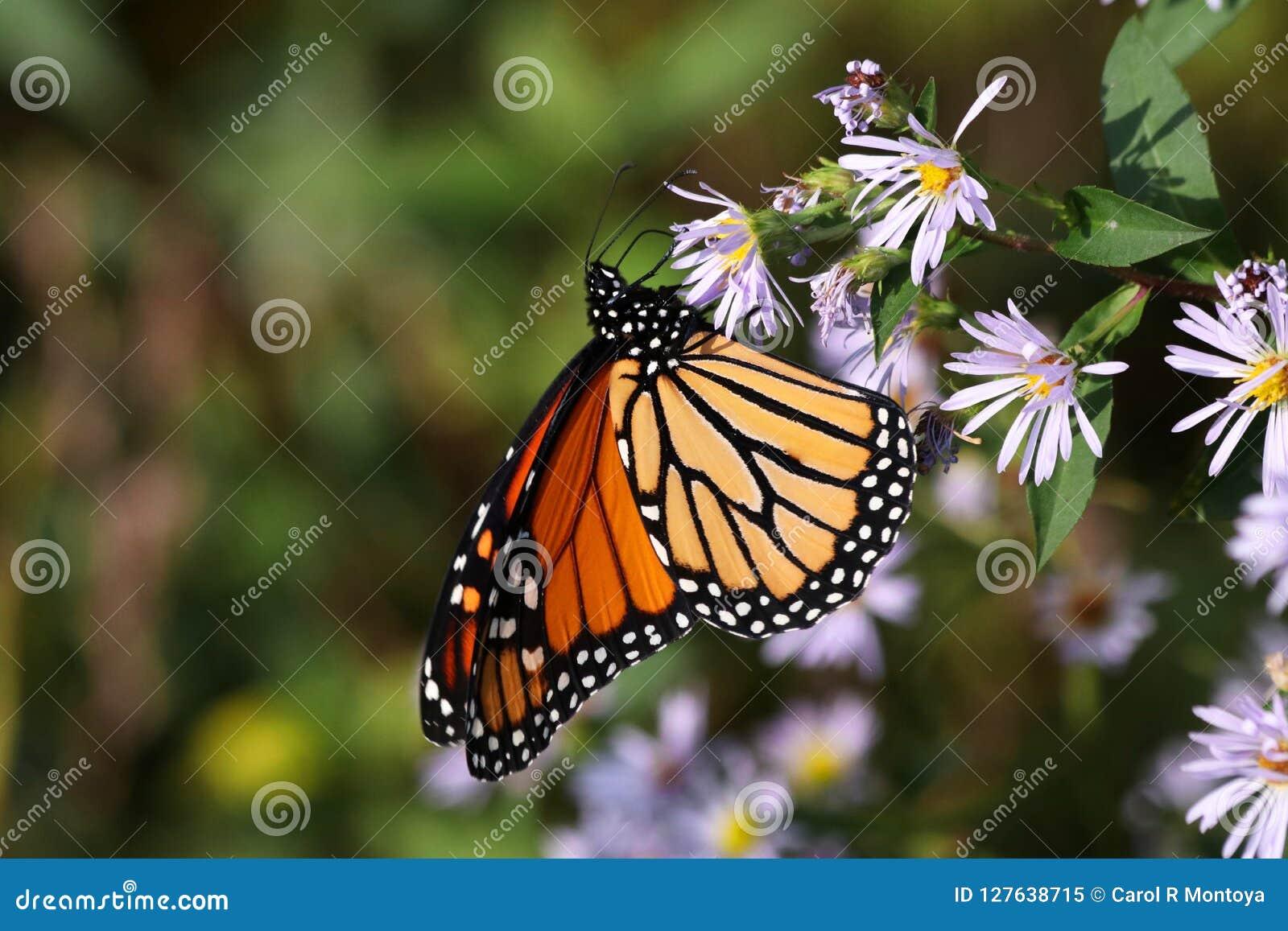 Monarchvlinder II 2018