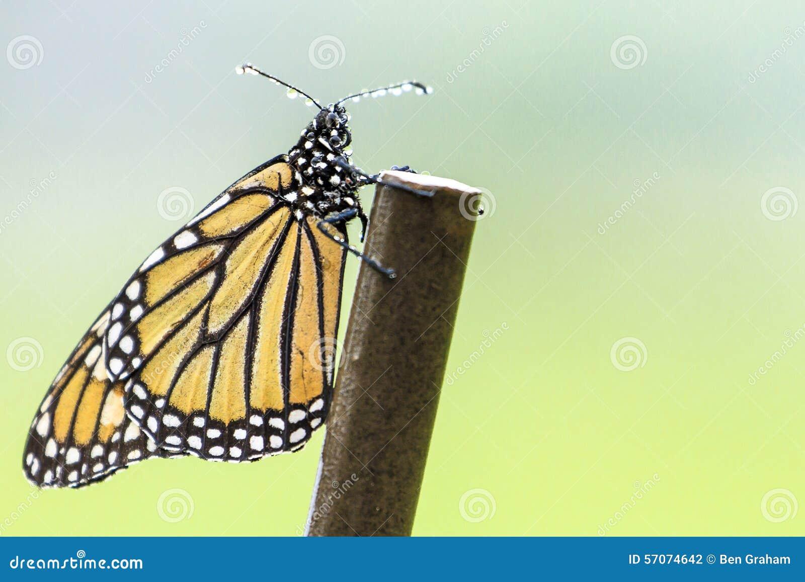 Monarchvlinder in Regen