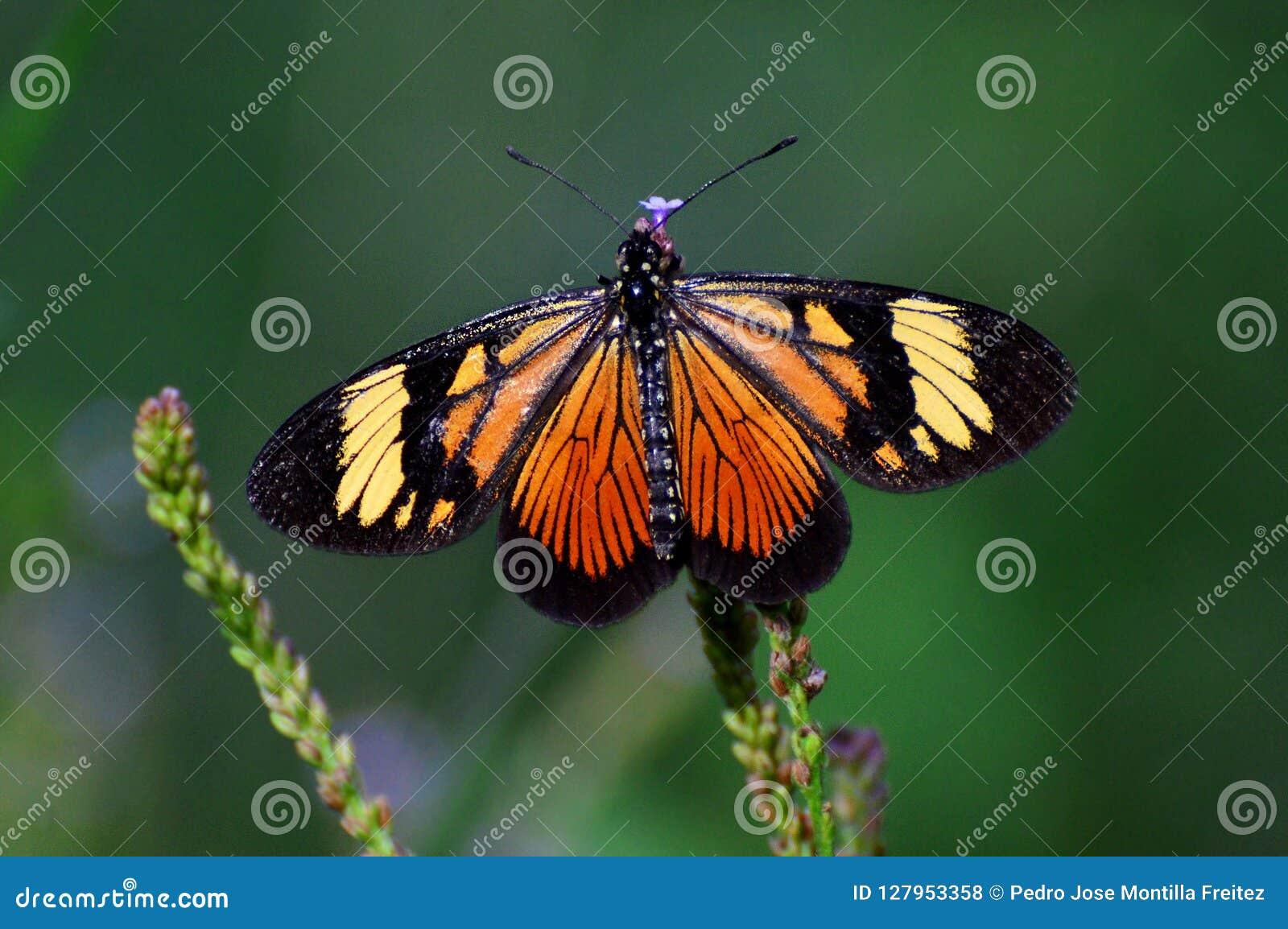 Monarchvlinder van de Andes van Venezuela