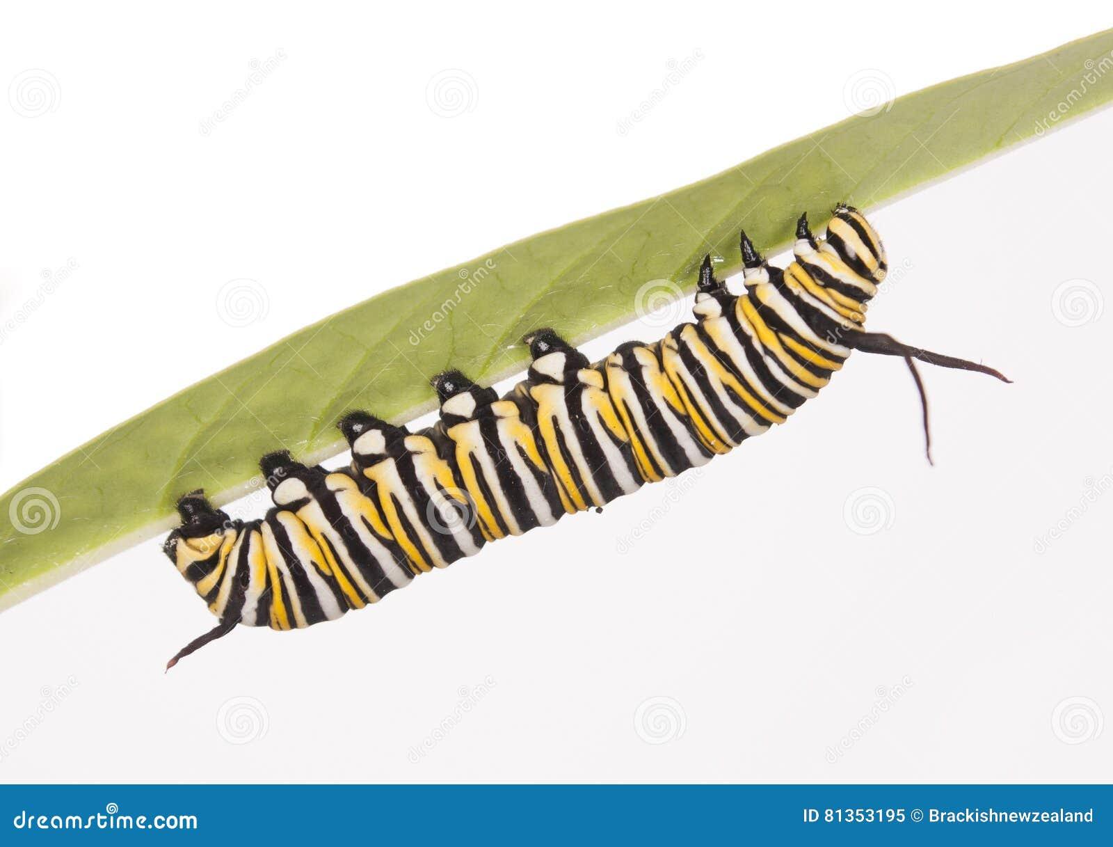 Monark Caterpillar
