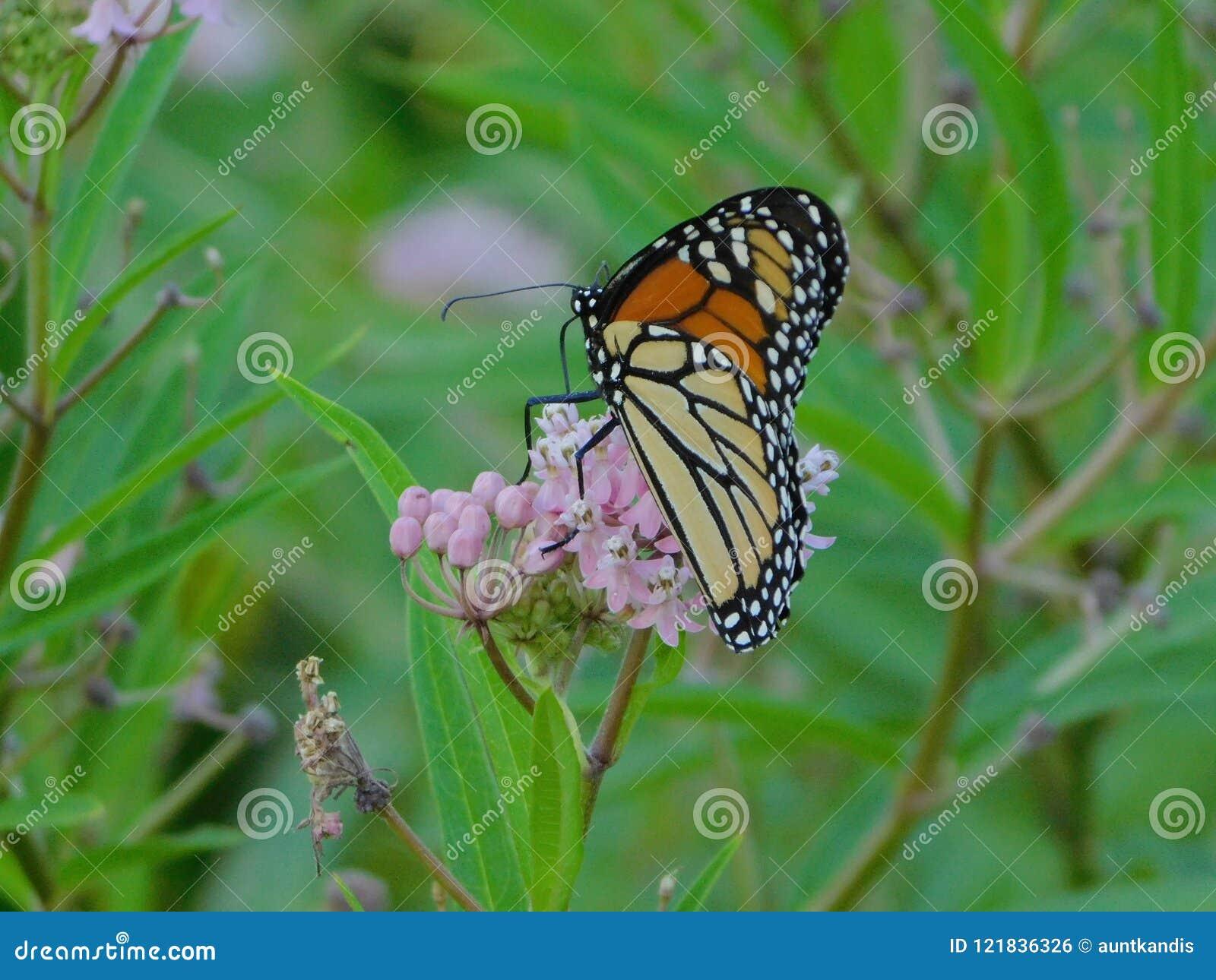 Monark Chillin på blomman