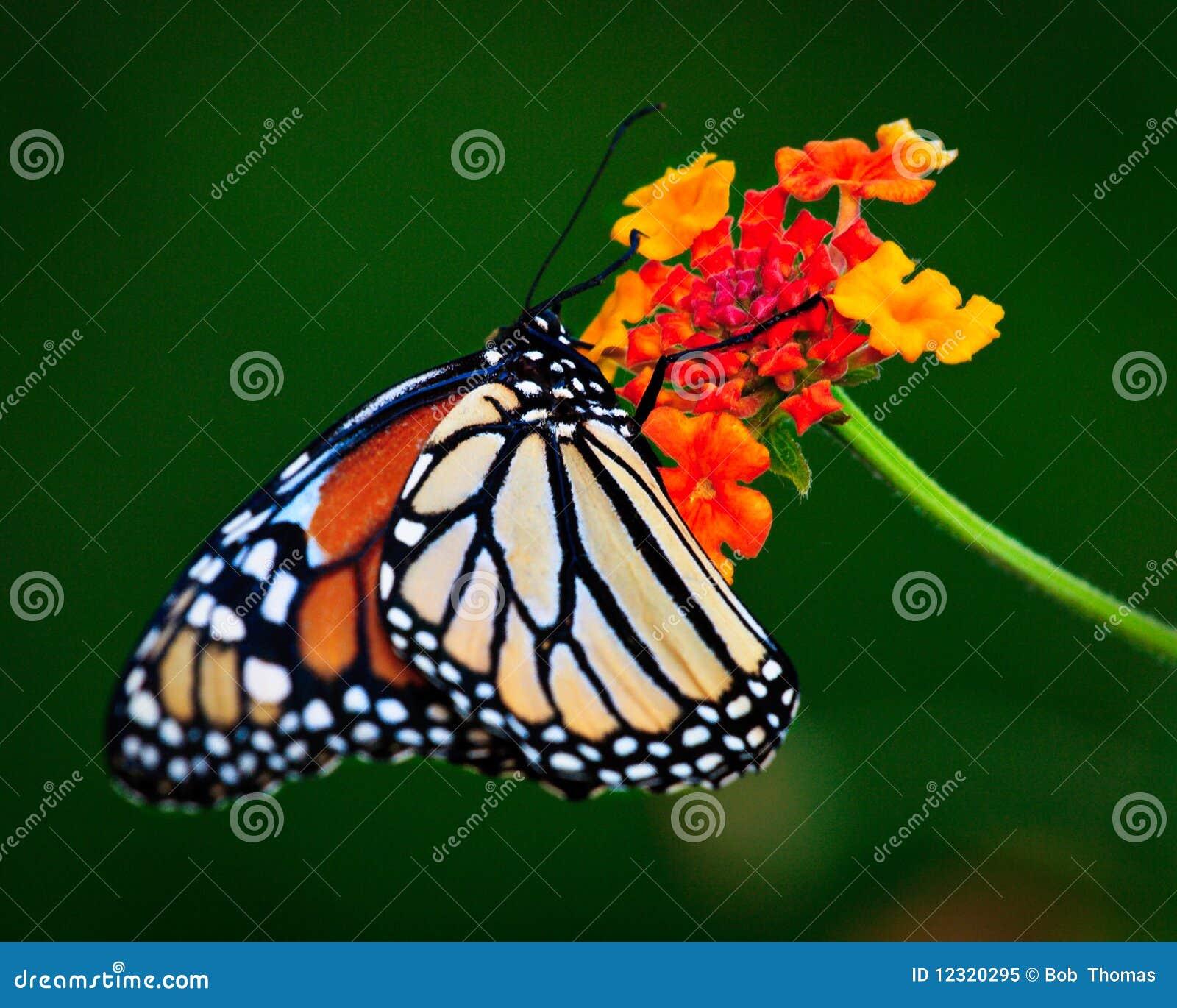 Monark som nectaring