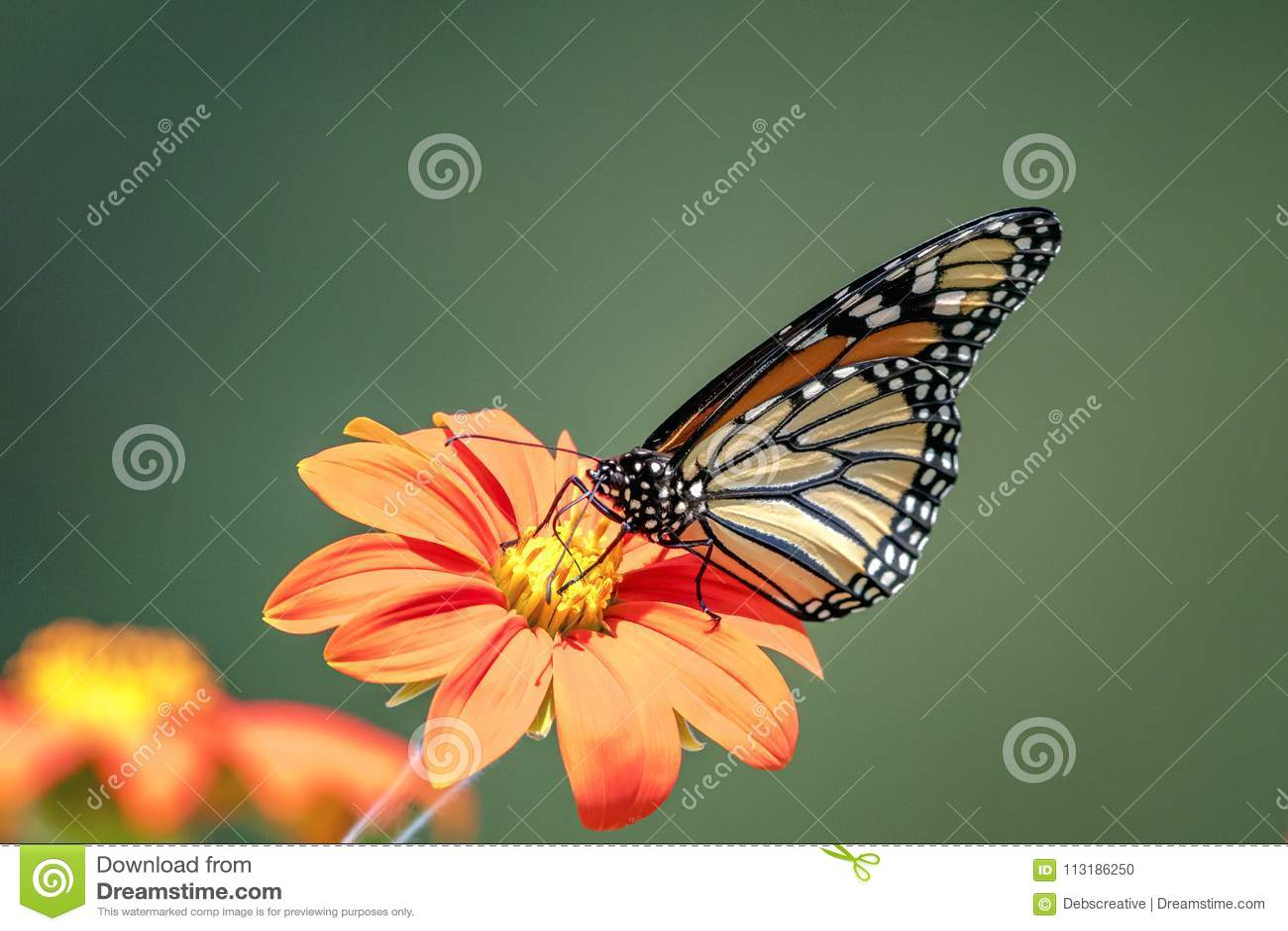 Monarkfjäril på en blomma