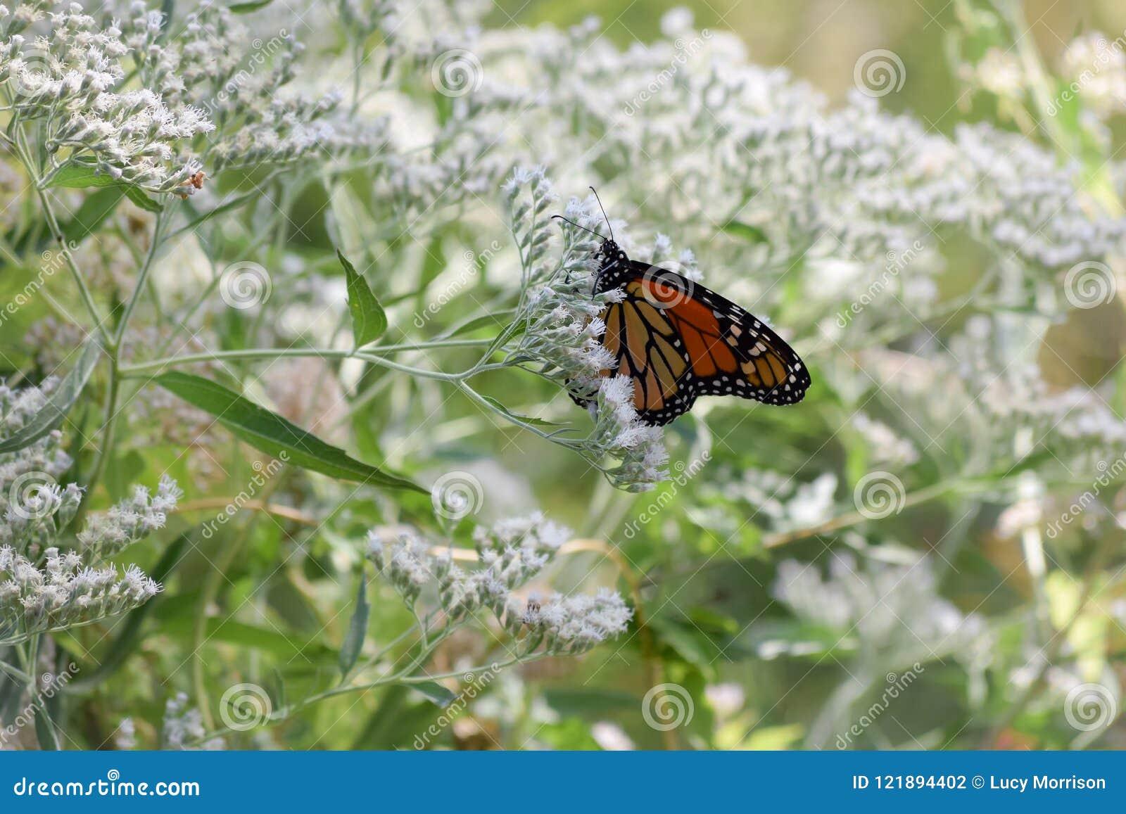 Monarkfjäril på mycket små vita blom