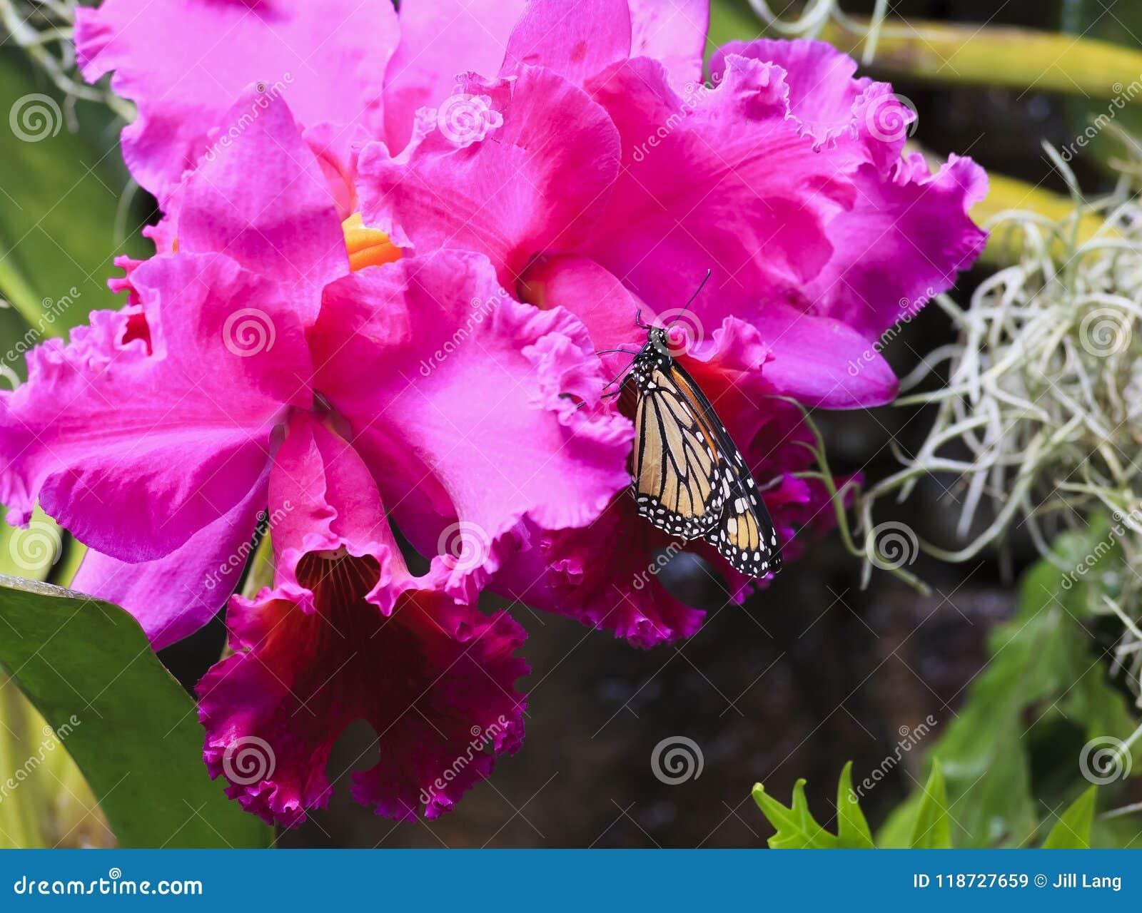 Monarkfjäril som matar på orkidér