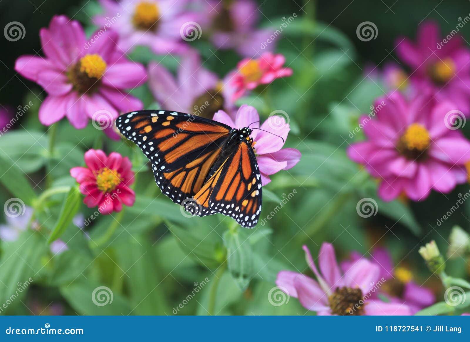 Monarkfjäril som matar på sommarZinnias