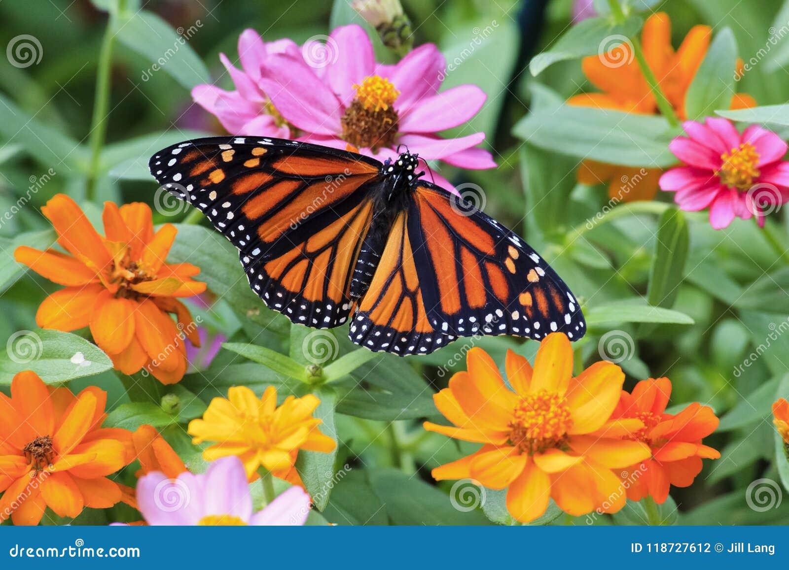 Monarkfjäril som tycker om zinniasna
