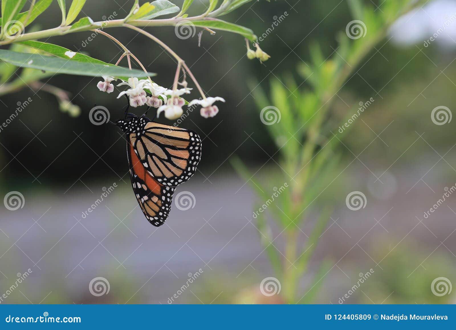 Monarkfjärilen eller monarken är enkelt en milkweedfjäril i familjnymphalidaen