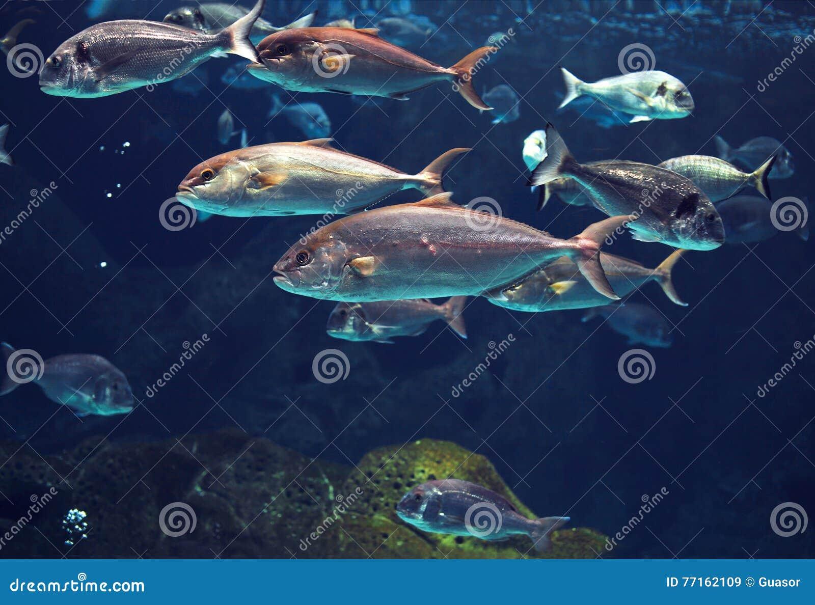 Monde sous-marin étonnant, poissons argentés brillants tropicaux de banc