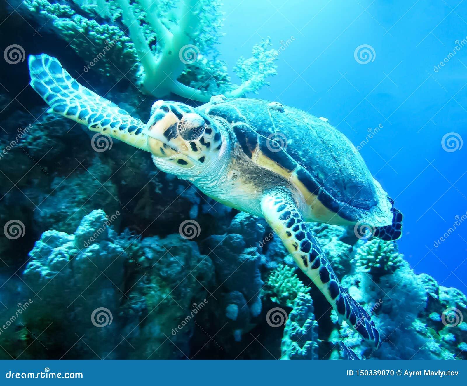 Monde sous-marin dans l eau profonde dans la flore de récif coralien et de nature d usines dans la faune marine du monde bleu, pi