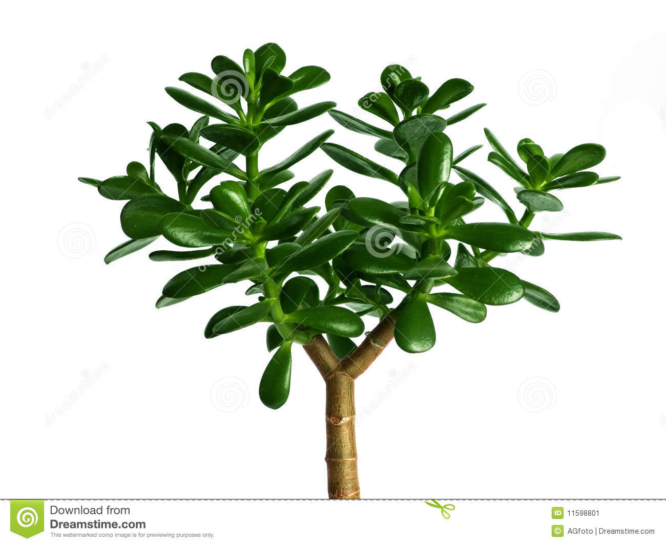 ... plant - Crassula Ovata or Money tree. Isolated over white background