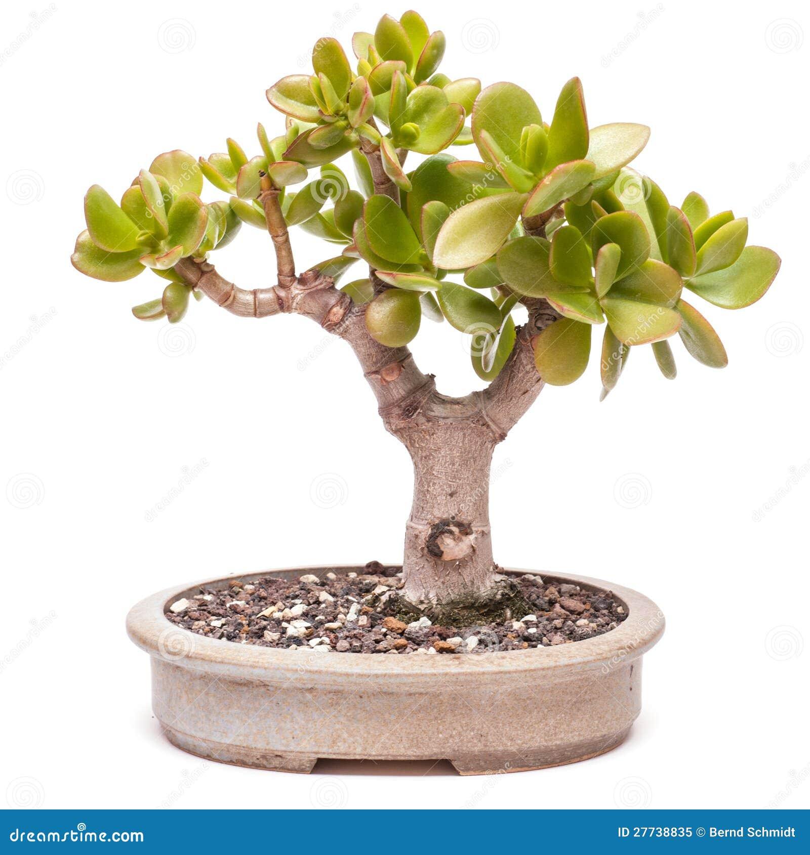 Money Tree Crassula Ovata As Bonsai Royalty Free Stock