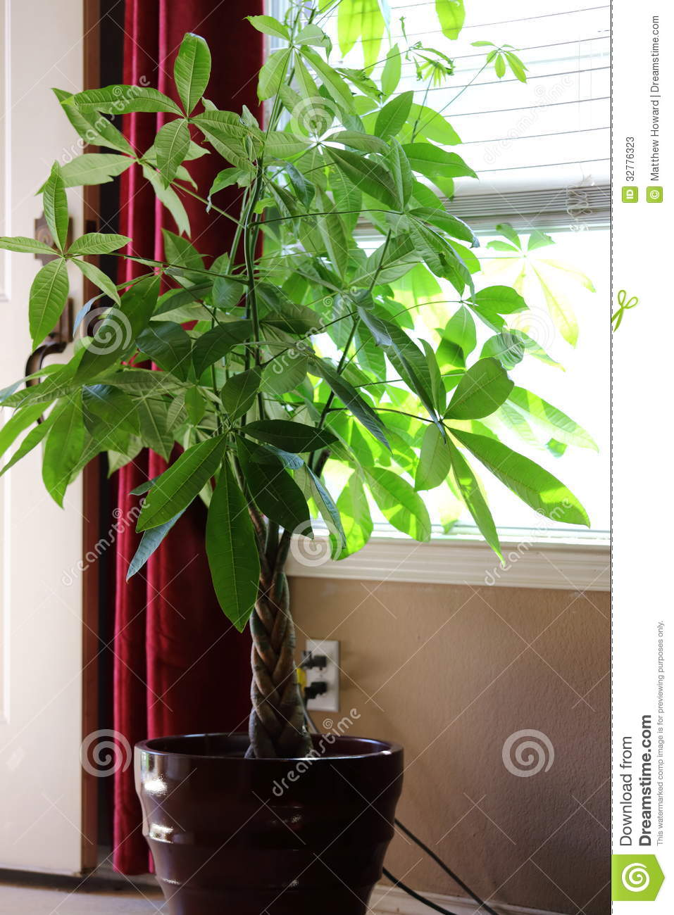 Money Tree Plant Stock Photos Image 32776323