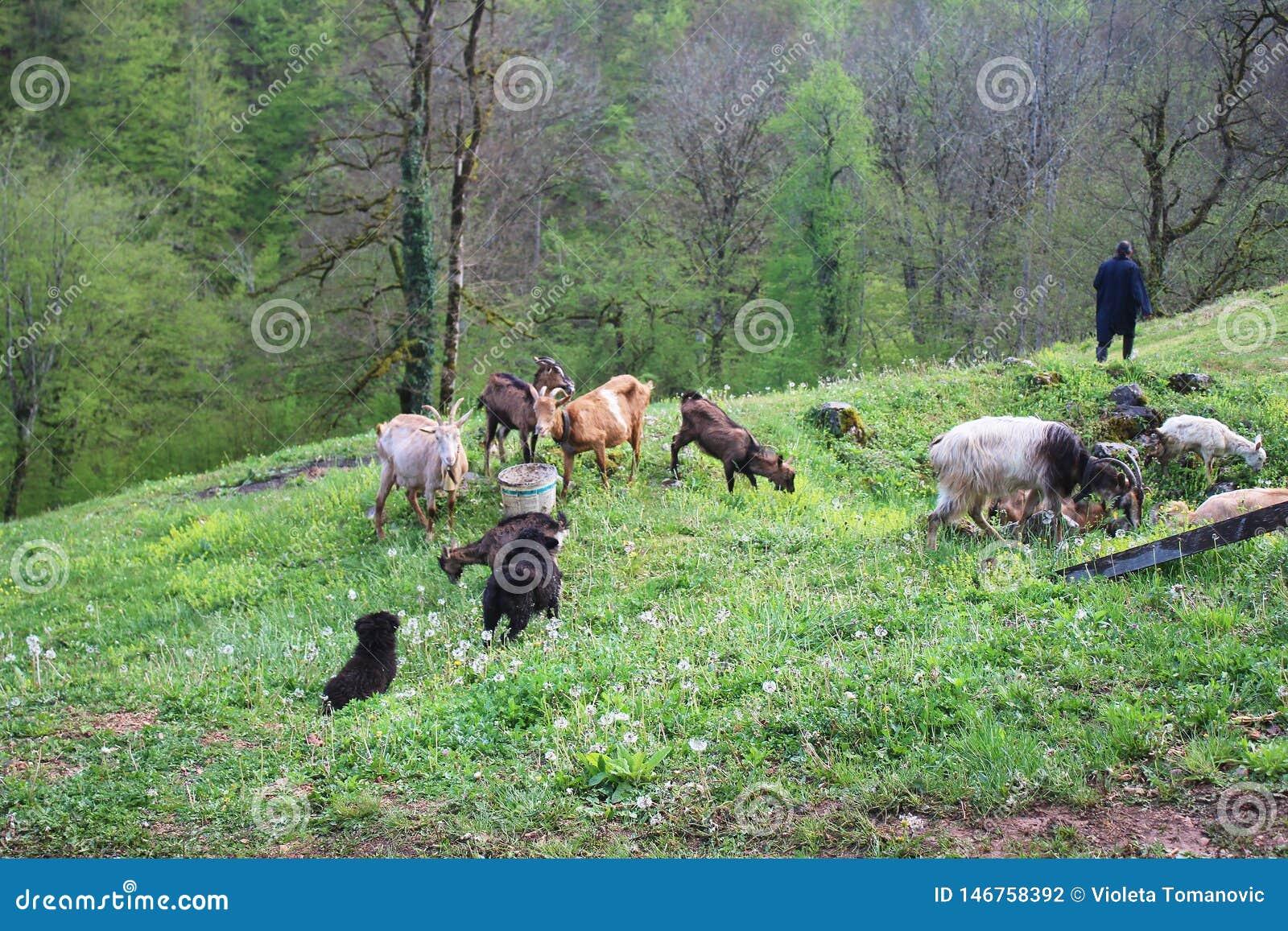 Monge ortodoxo e cabra de Chriastian na grama e nos dentes-de-le?o no p?tio do monast?rio de Djurdjevica Tara