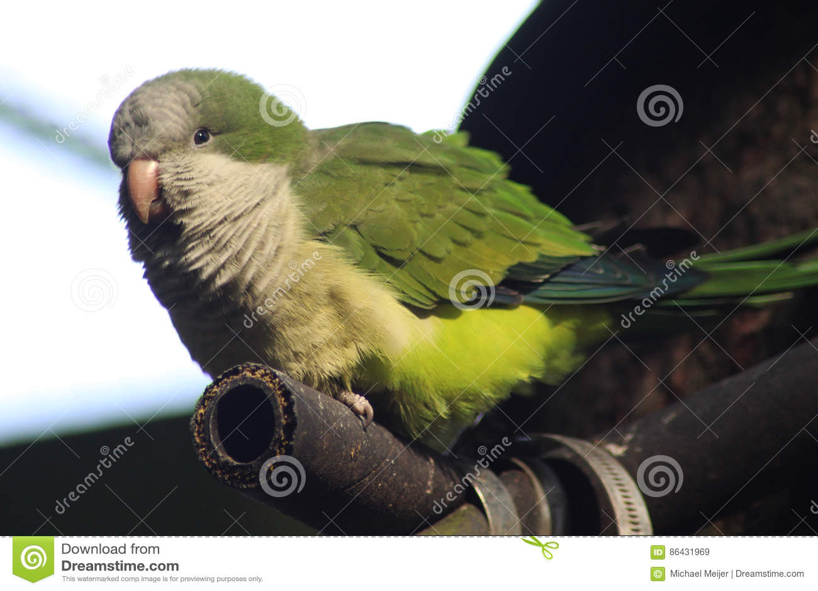 Monge Parakeet