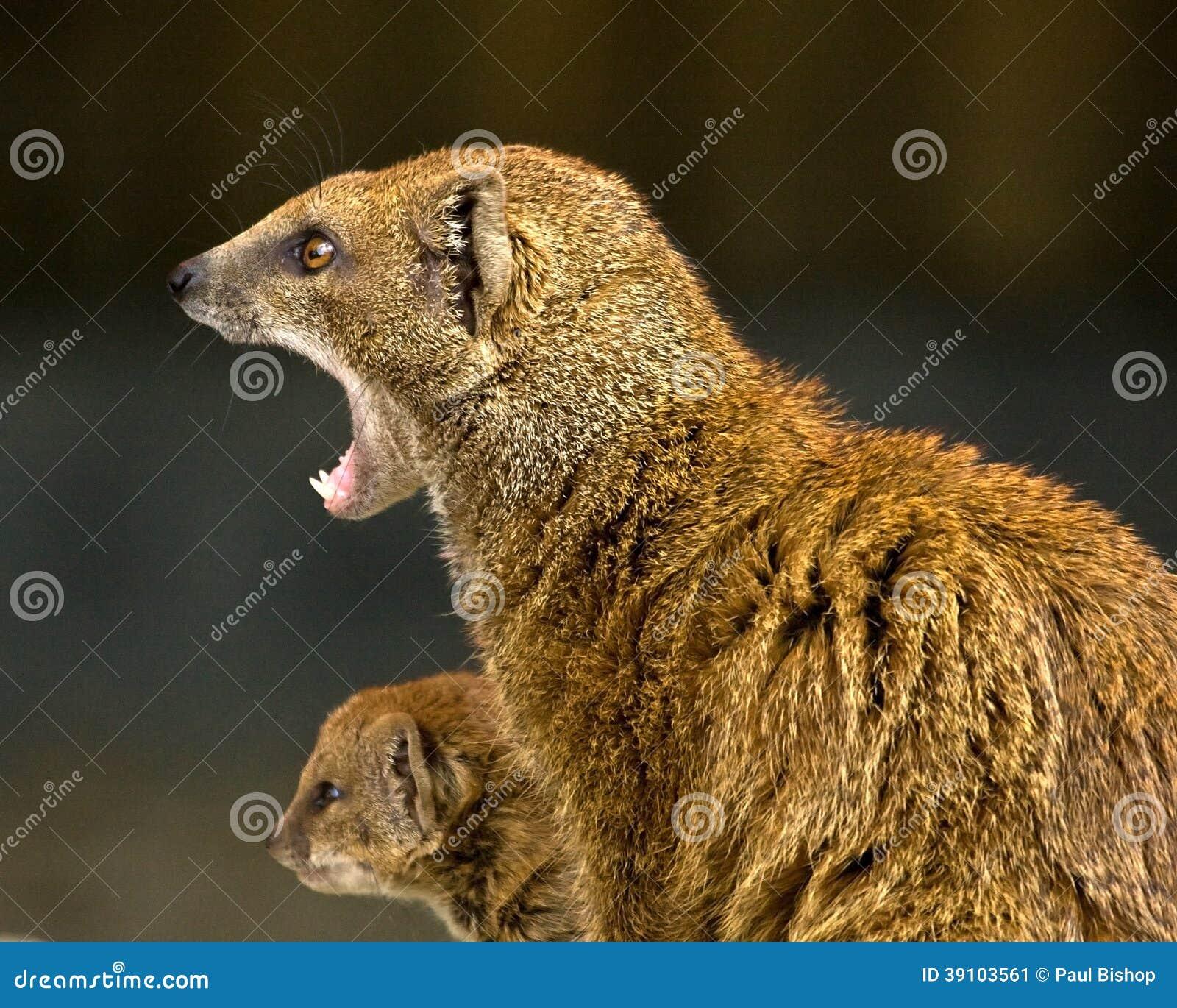 Mongoes en baby