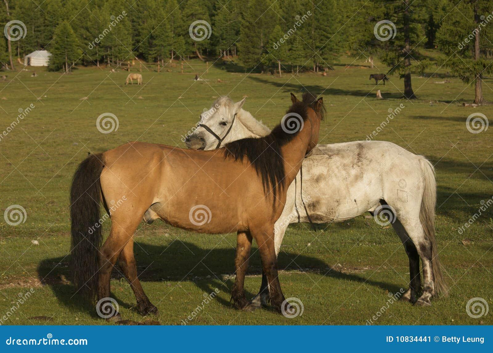 Mongolische Pferde Stockbild Bild Von Größe Lang Gras 10834441