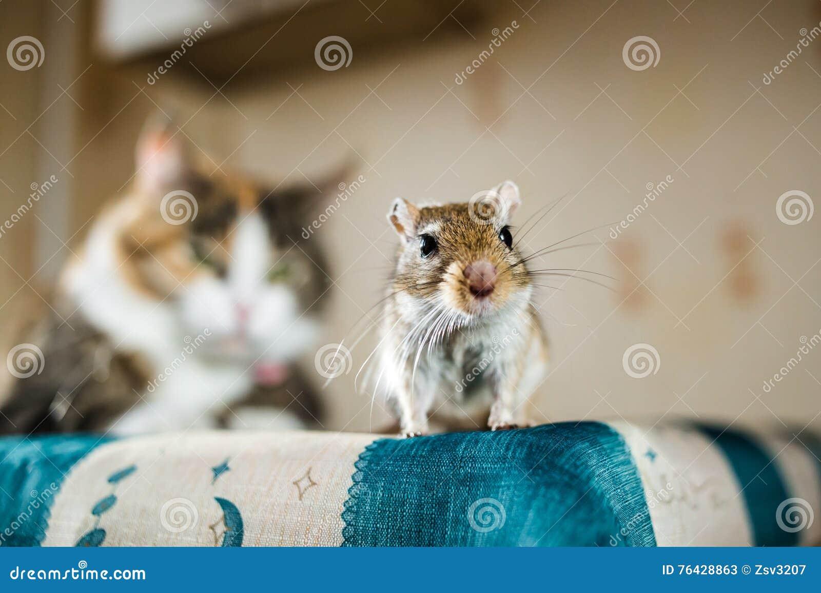 Mongoolse woestijnratmuis en de kat op achtergrond Concepten prooi, voedsel, ongedierte, interrelatie, hulp, gevaar