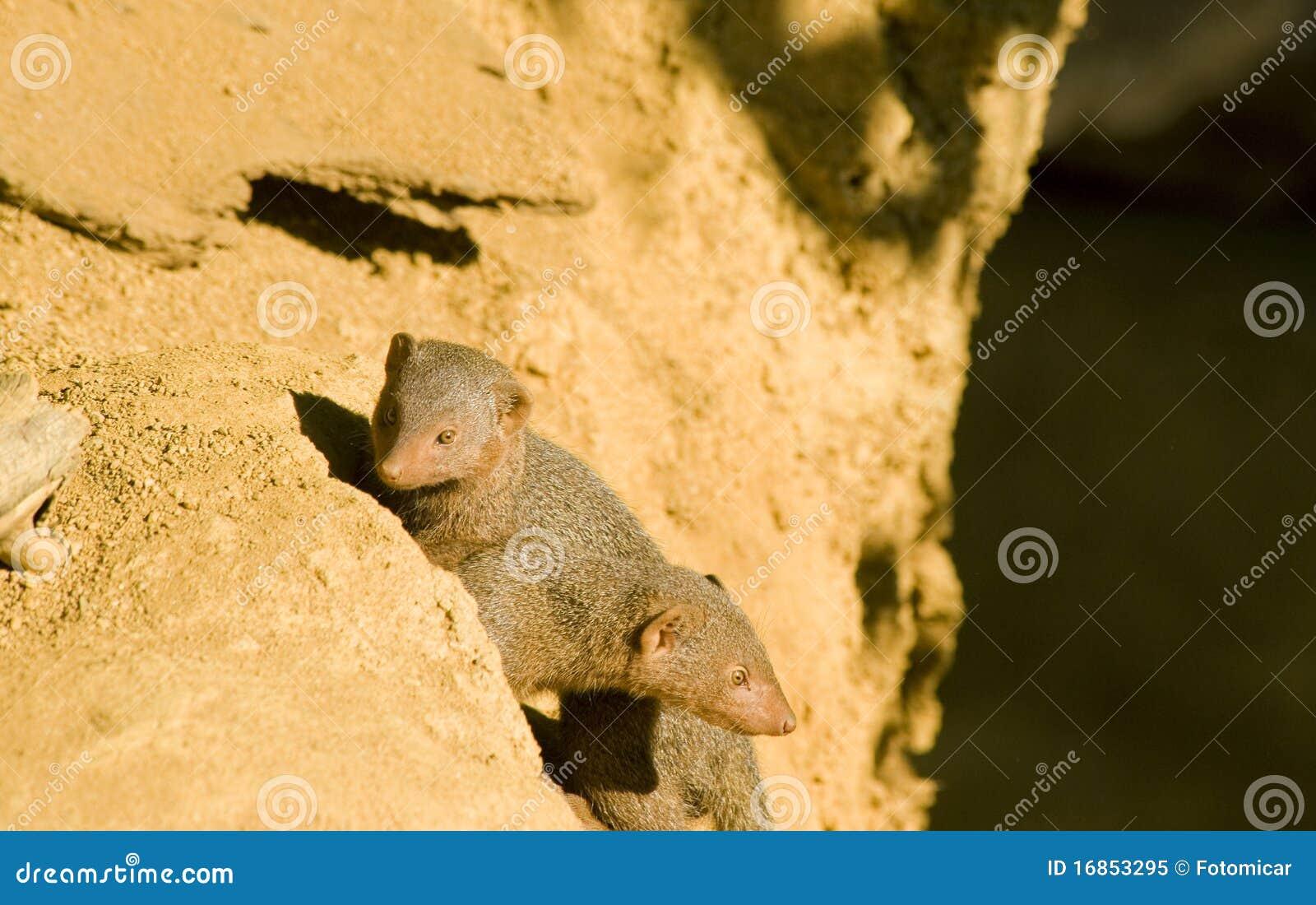 Mongoose dois