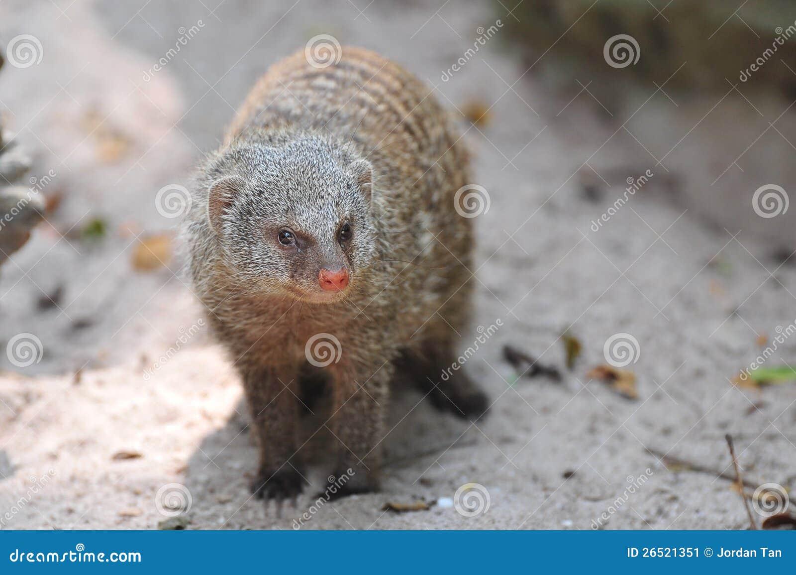 Mongoose selvagem