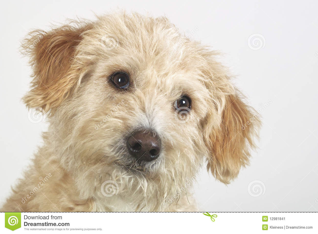Mongrel Dog Stock Image Image 12981841