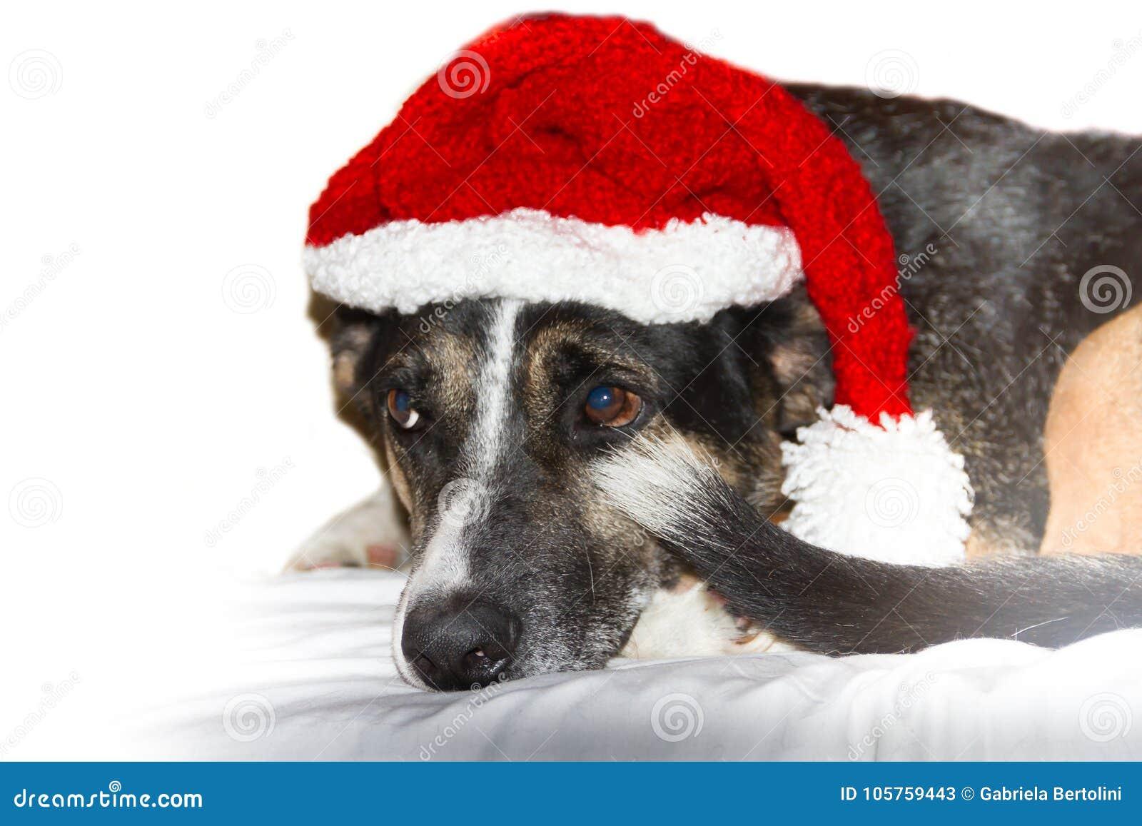 41eb33ae17467 Mongrel Dog With Santa Hat At Christmas Stock Image - Image of jack ...