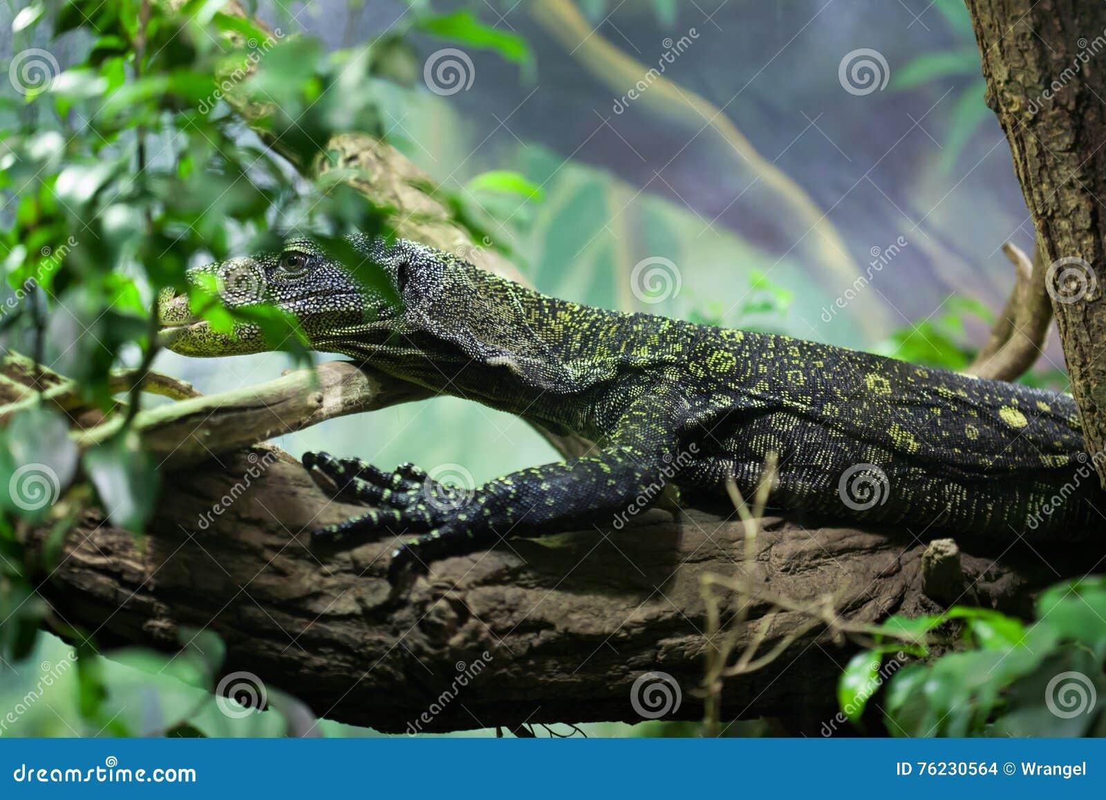 Moniteur de crocodile (salvadorii de Varanus)
