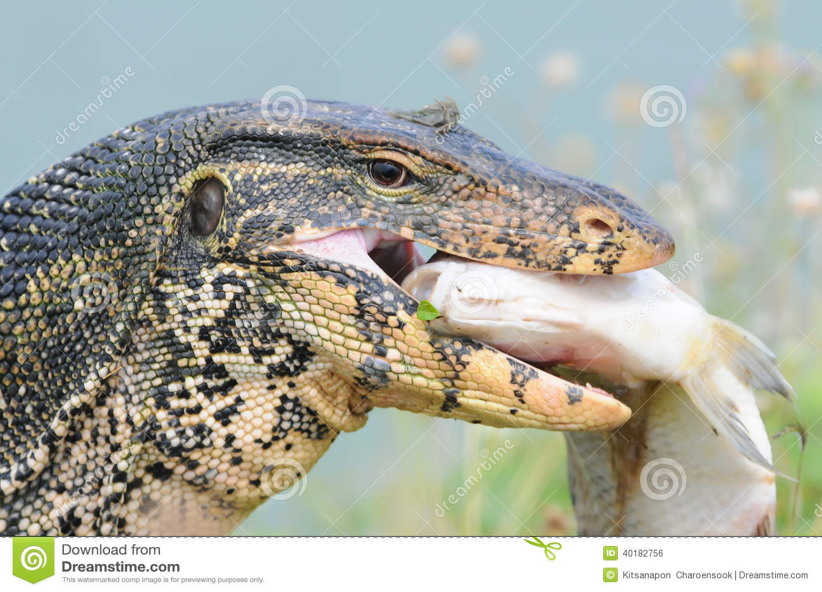Monitor lizard eating fish stock photo image 40182756 for Water lizard fish