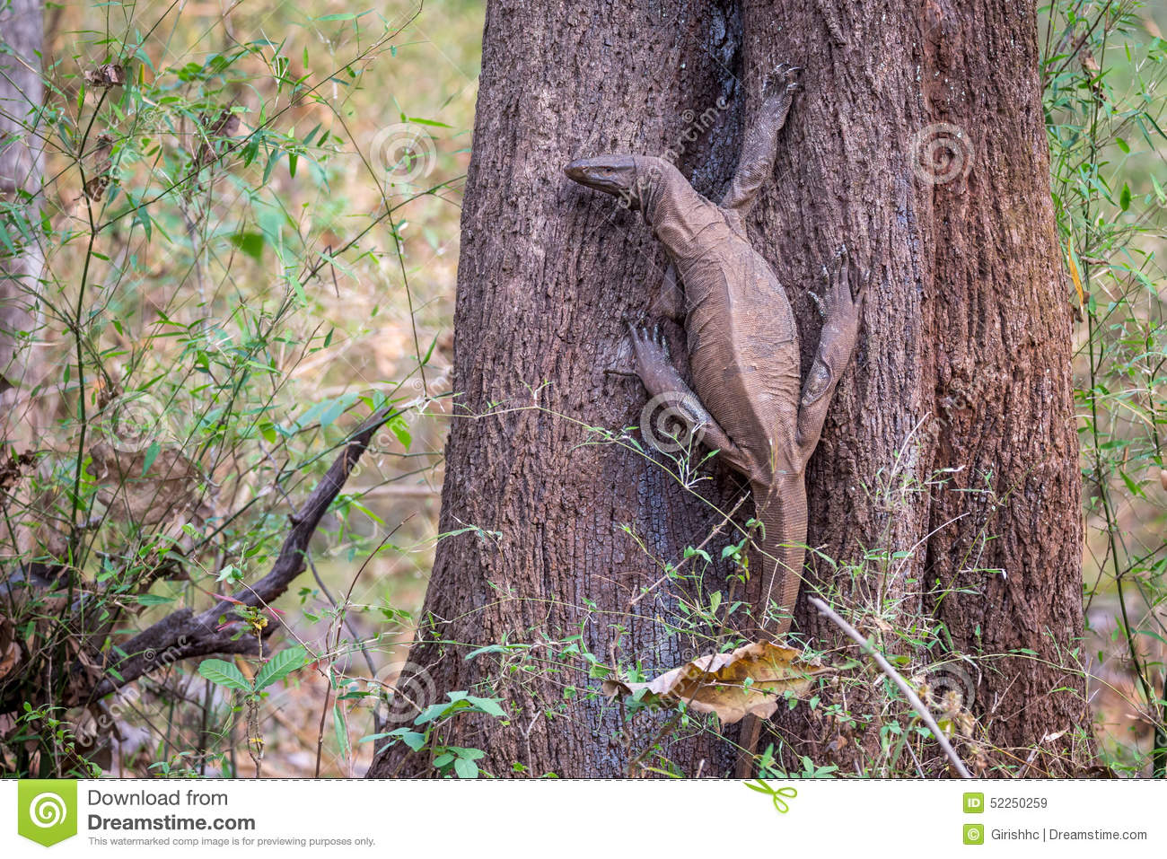 Monitor Lizard In Habitat Stock Image Image Of Animals