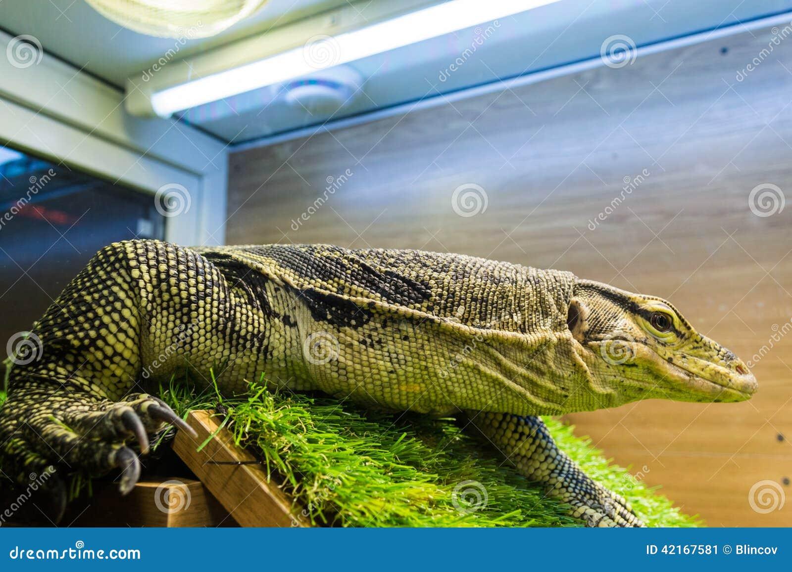 Monitor Lizard Varanus In The Terrarium Stock Image Image Of