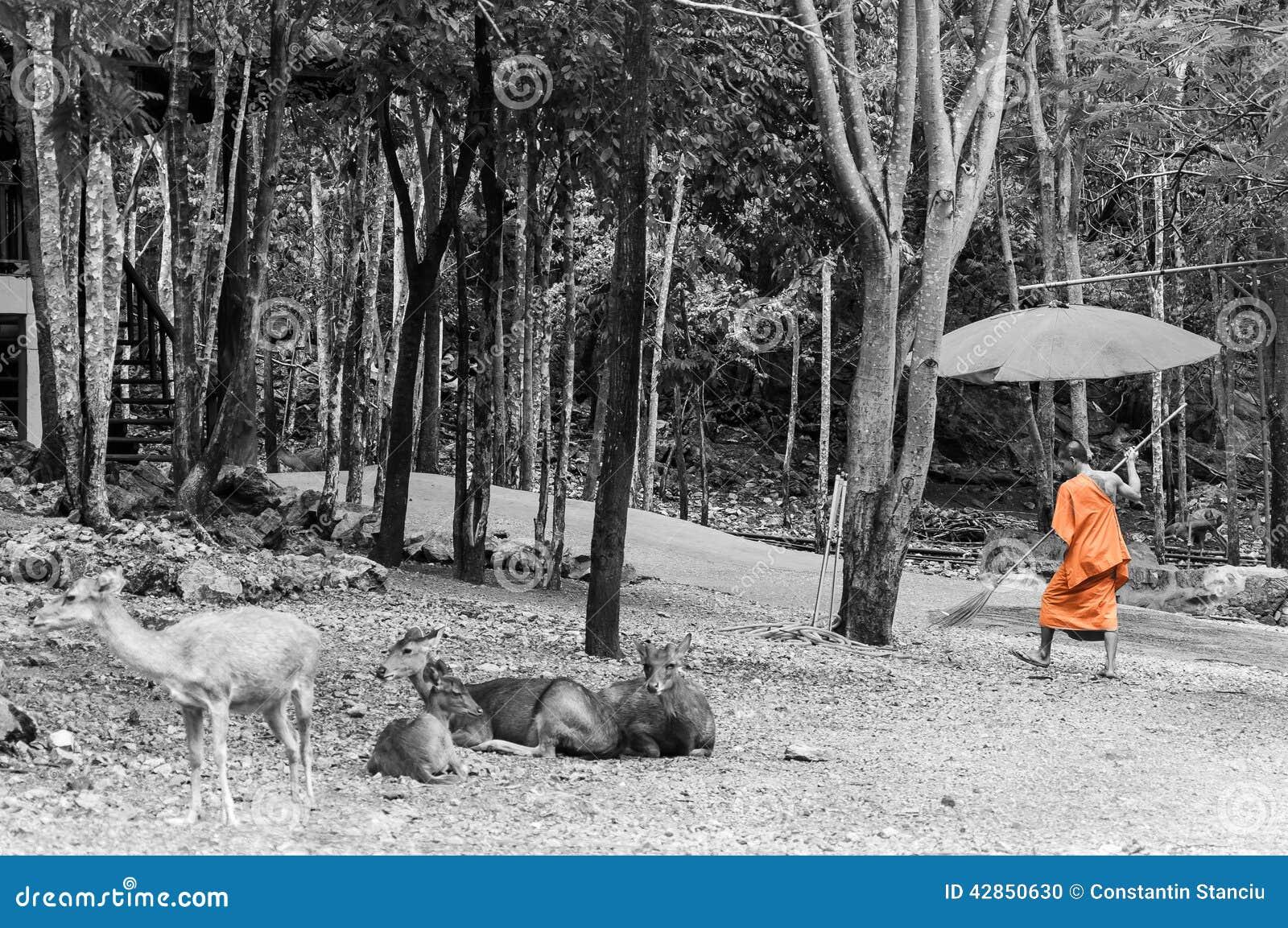 f98e3c079f54de monk-doing-cleaning-routine-tiger-temple-kanchanaburi-thailand-42850630.jpg