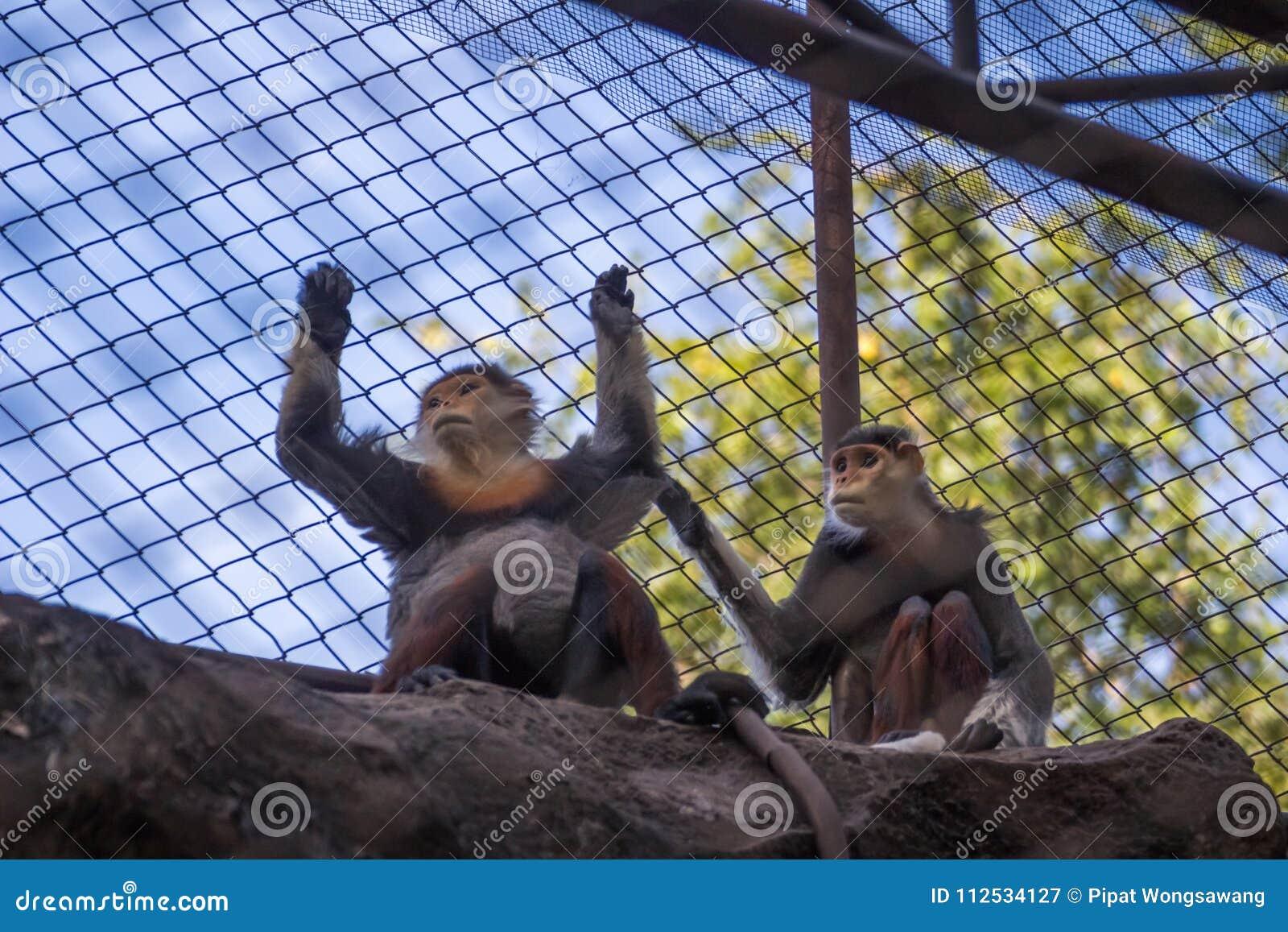 Monkey в клетке, глазах унылый