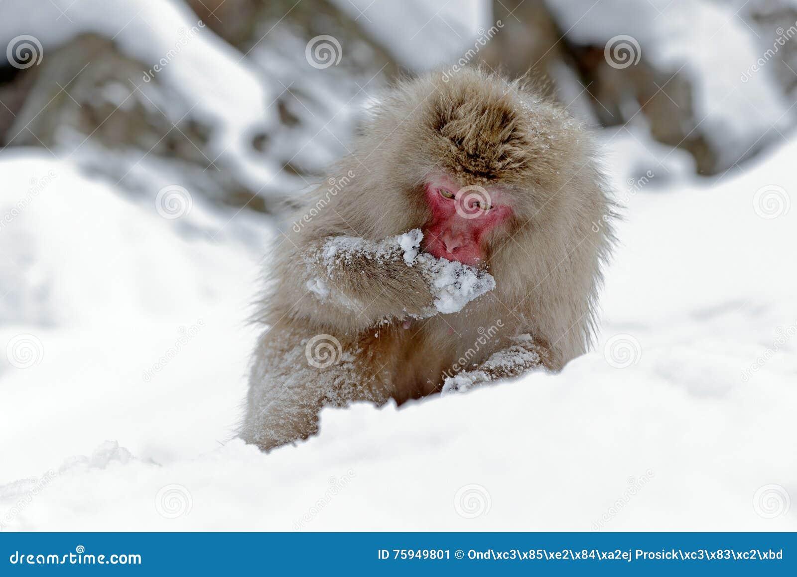 Monkey японская макака, fuscata Macaca, сидя на снеге, Хоккаидо, Япония Сцена зимы с обезьяной от снежной горы мило