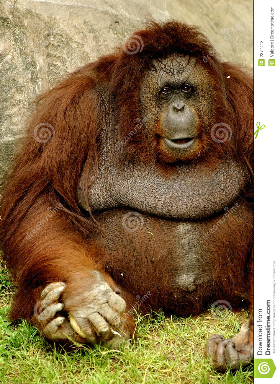 Monkey Stock Photos Image 2377413