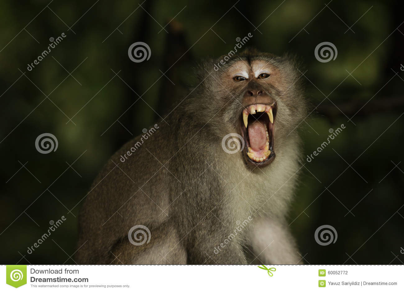 Monkey in Alas Kedaton Temple
