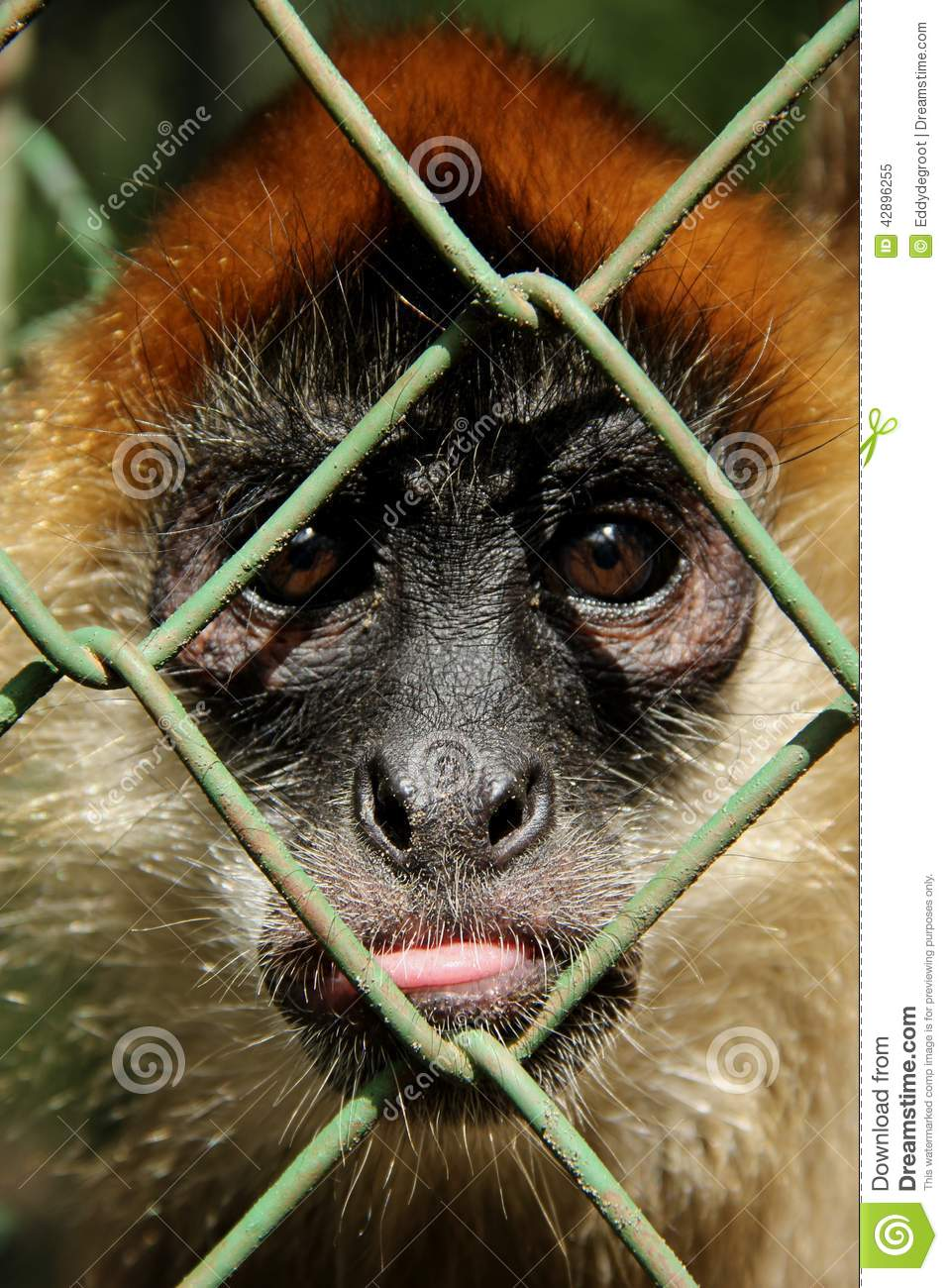 monkey in cage stock image image of tourist fauna color 42896255. Black Bedroom Furniture Sets. Home Design Ideas