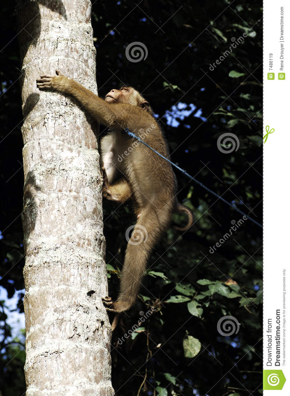 monkey climbing a coconut tree royalty free stock images