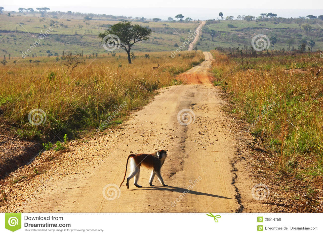 Monkey Crossing Long Winding Dirt Road Stock Photo - Image ...