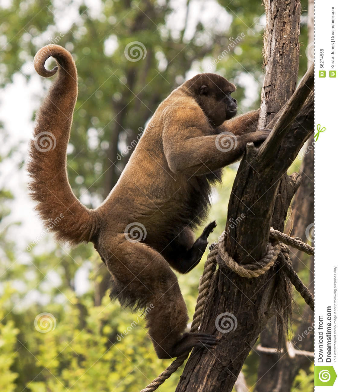 monkey know which tree to climb The monkey puzzle tree: an unusual and endangered plant comes from the idea that a monkey would be unable to climb it know that i have a monkey puzzle tree.