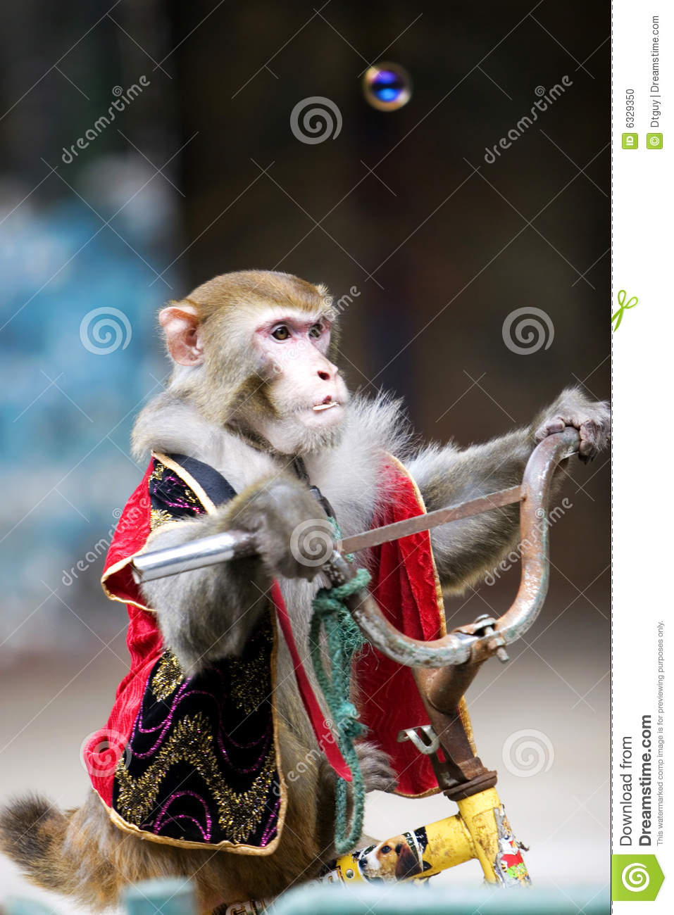 Monkey Cycling Of Circus Stock Photo Image Of Monkey