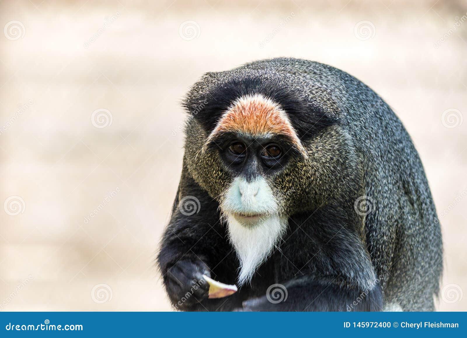 Monkey de De Brazza s, un primat attirant avec la fourrure distinctive