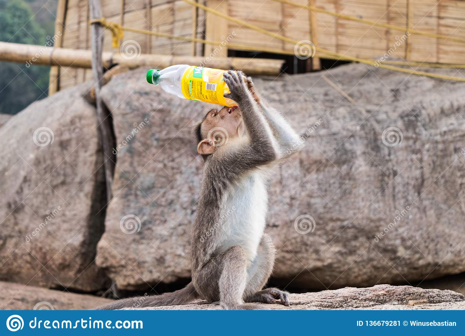 Monkey drinking water from bottle