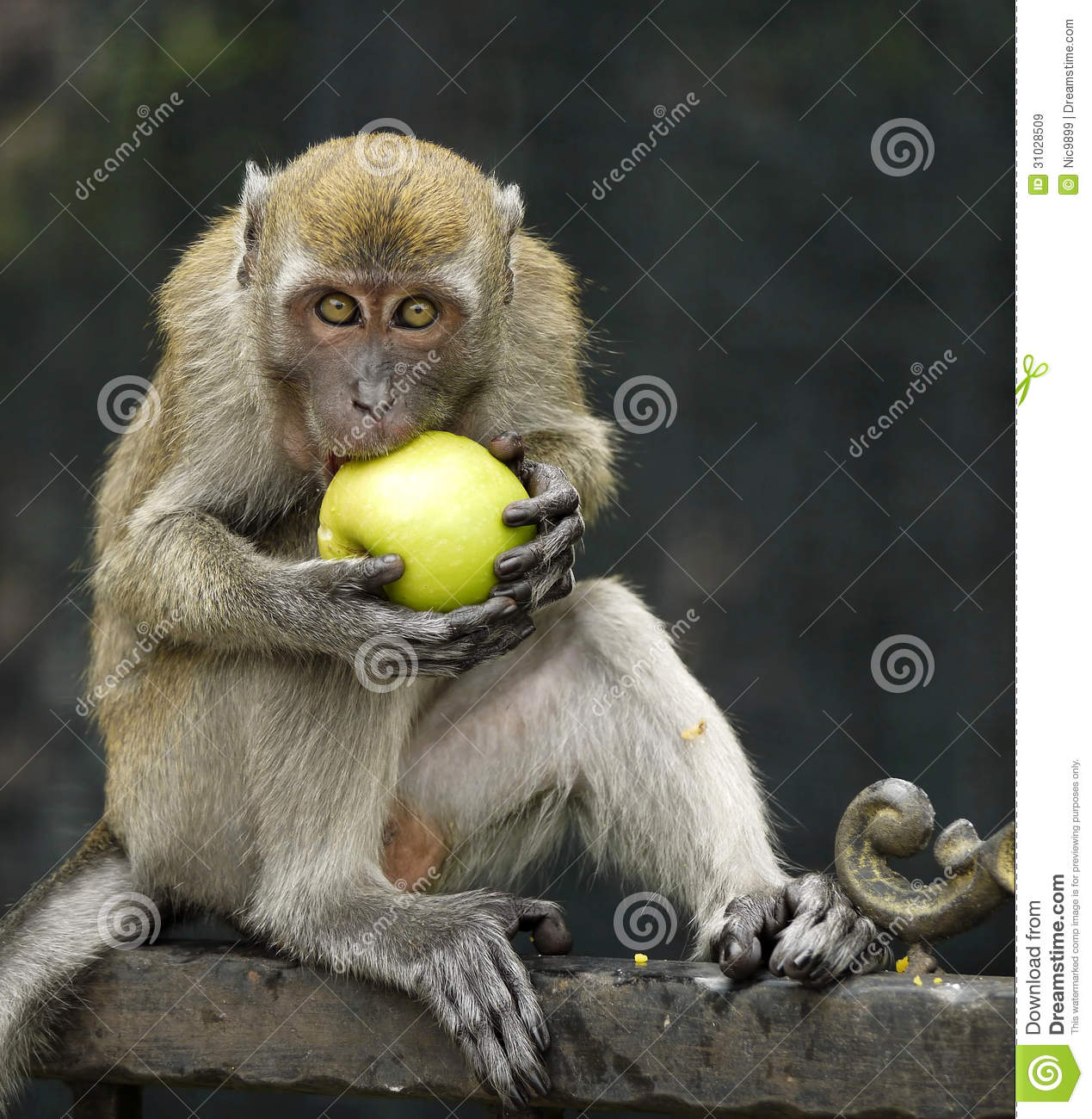 Monkey Eating An Apple Royalty Free Stock Images Image