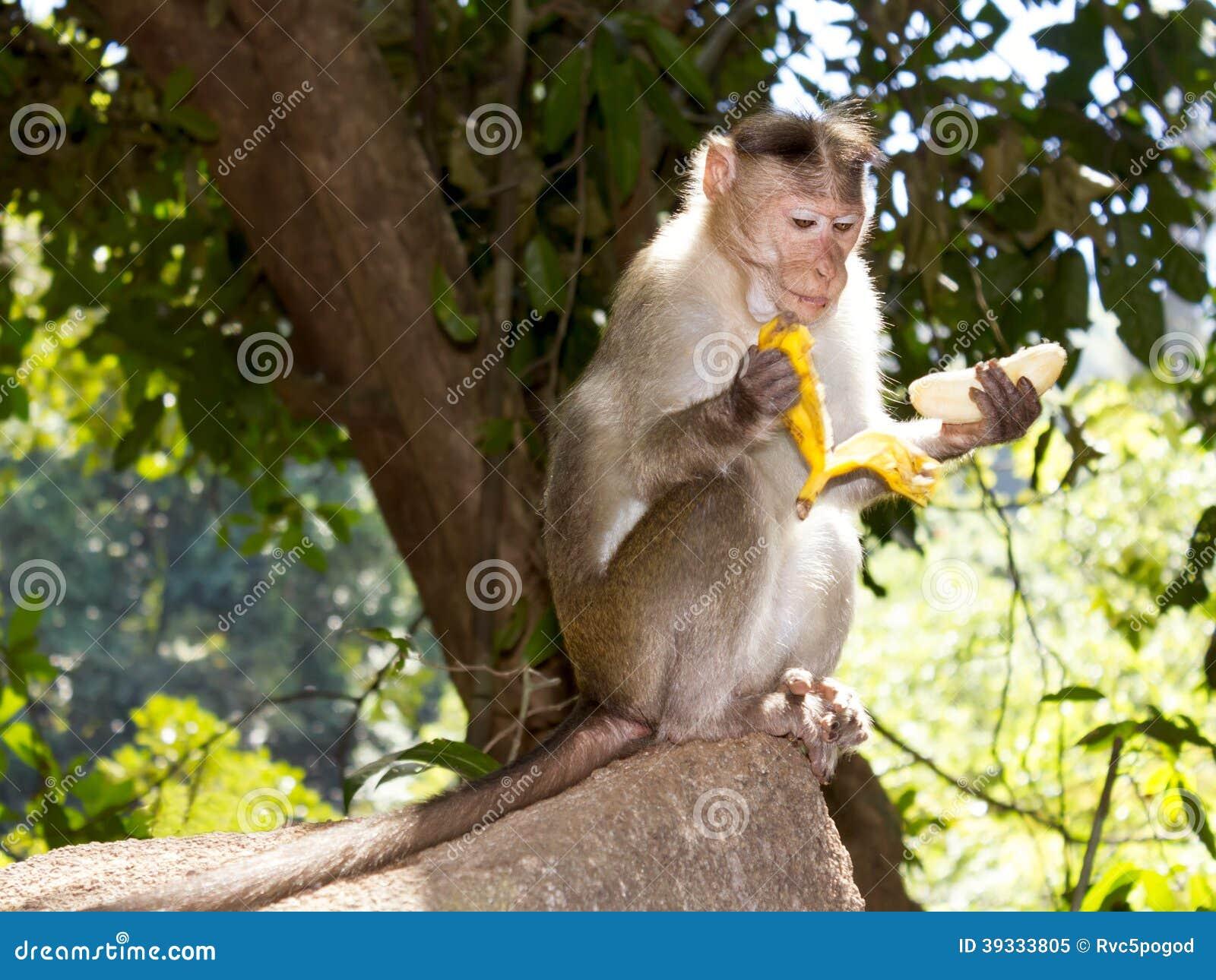 Monkey eating a banana, Goa, India