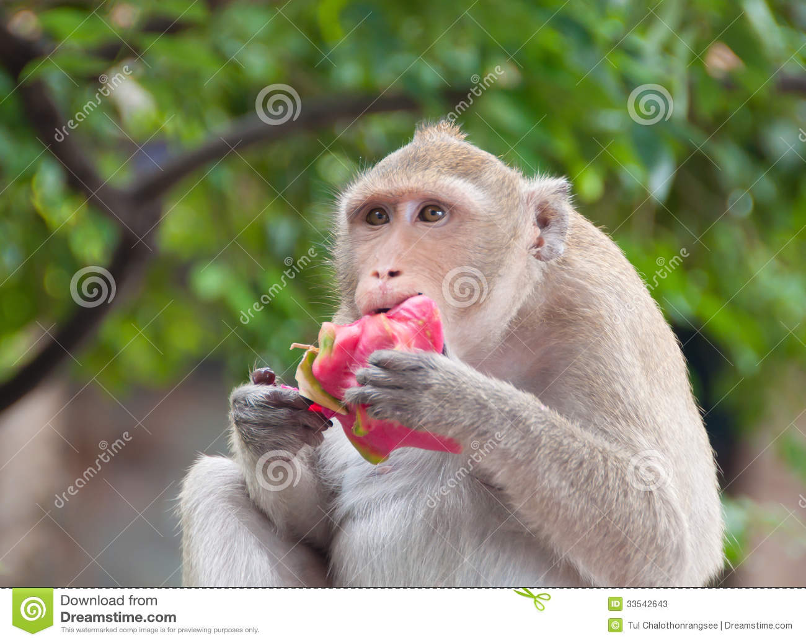 Monkey Eating Fruit Stock Photos