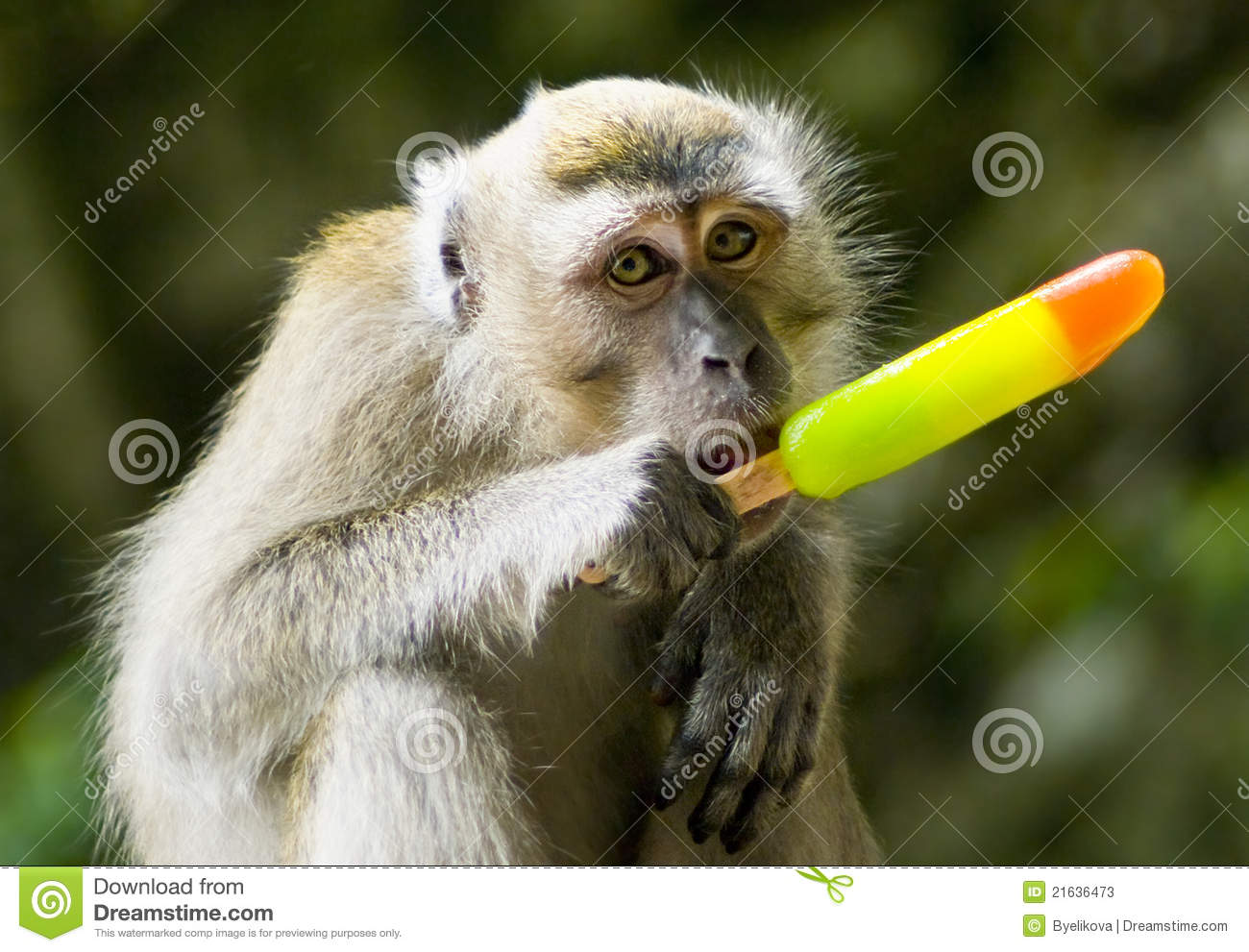 monkey eating ice cream stock image  image of nature